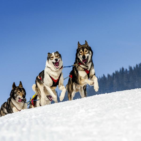 vermont dog sledding